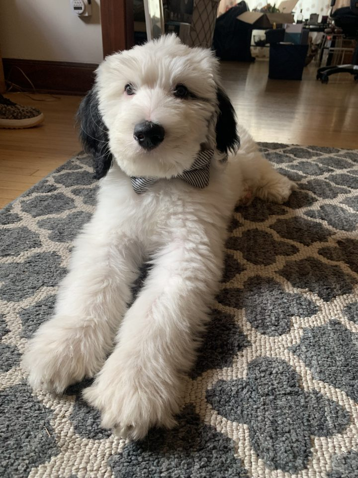 Fluffy Grey And White Dog Stretches On A Rug.