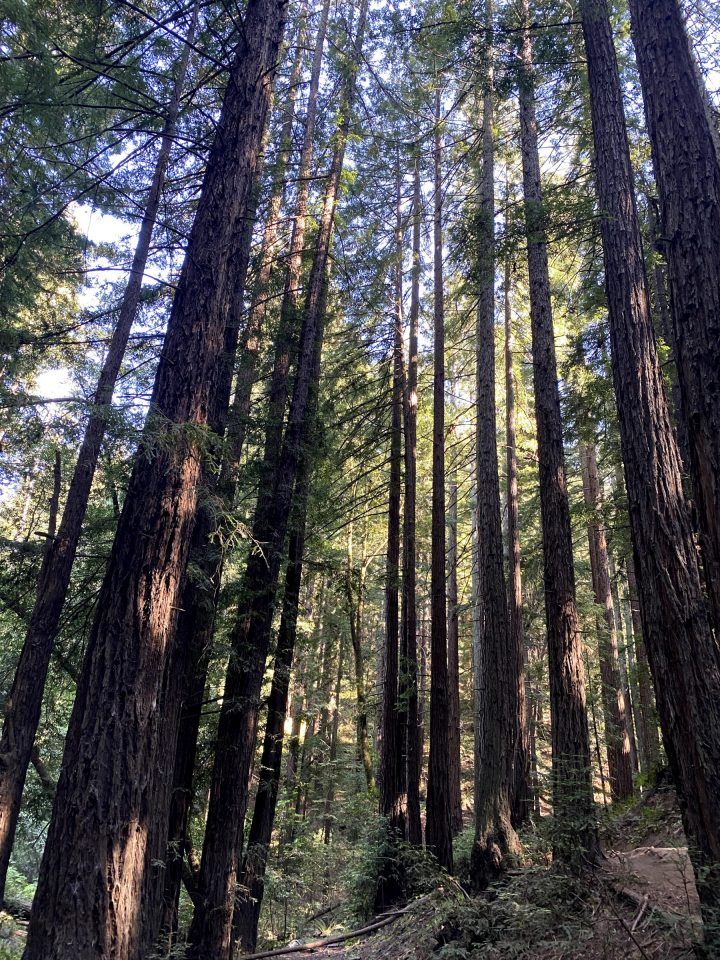 Looking Up At The Tall Trees In California's Redwood Forest.
